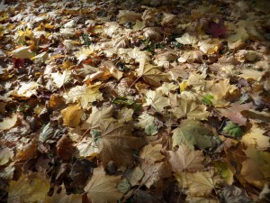 Кленовая осенняя листва на лужайке города Московский